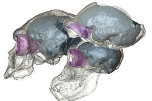 La evolución de los lóbulos frontales depende de la geometría craneal, y no solo de cambios cerebrales