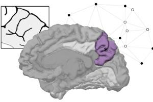 El precúneo es clave en la diversidad de la anatomía del cerebro humano