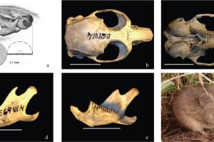 Se confirma la presencia más antigua del topillo ibérico hace 200.000 años en Madrid