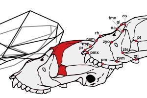 Un estudio con modelos geométricos analiza la peculiar anatomía craneal de los monos aulladores