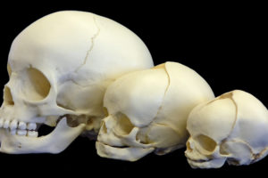 Un estudio plantea la relación entre auto-domesticación humana y evolución cerebral