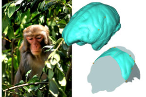 Analizan la anatomía parietal de los monos del viejo mundo